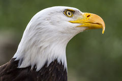 Bald eagle. haliaeetus leucocephalus Royalty Free Stock Photos