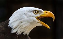 Bald eagle haliaeetus leucocephalus Royalty Free Stock Photos