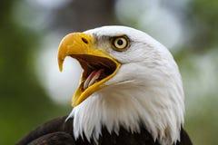 Bald eagle haliaeetus leucocephalus Royalty Free Stock Image
