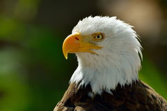 The Bald Eagle (Haliaeetus leucocephalus) portrait Stock Images