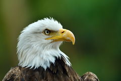 The Bald Eagle (Haliaeetus leucocephalus) portrait Royalty Free Stock Images