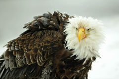The Bald eagle ( Haliaeetus leucocephalus ) portrait Stock Photo