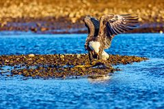 Bald Eagle Haliaeetus leucocephalus at salmon run in British C Royalty Free Stock Photography