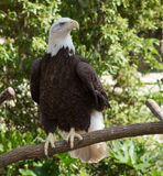 Bald eagle. Haliaeetus leucocephalus at the San Antonio Zoo. Named for its white head, this bird of prey is the symbol of the United States of America Royalty Free Stock Image