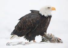 The Bald eagle ( Haliaeetus leucocephalus. Sits on snow and eats a salmon fish Stock Photos