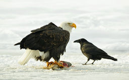 The Bald eagle ( Haliaeetus leucocephalus ) sits on snow and eats a salmon fish. Royalty Free Stock Photography