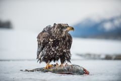 The Bald eagle ( Haliaeetus leucocephalus ) sits on snow and eats a salmon fish. Royalty Free Stock Images