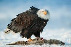 The Bald eagle ( Haliaeetus leucocephalus ) sits on snow and eats a salmon fish. Stock Image