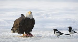 The Bald eagle  ( Haliaeetus leucocephalus ) Stock Photos