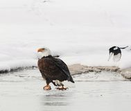 The Bald eagle  ( Haliaeetus leucocephalus ) Stock Photo