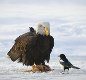 The Bald eagle  ( Haliaeetus leucocephalus ) Royalty Free Stock Images
