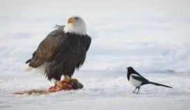 The Bald eagle  ( Haliaeetus leucocephalus ) Royalty Free Stock Images