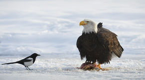The Bald eagle  ( Haliaeetus leucocephalus ) Royalty Free Stock Photography