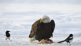 The Bald eagle  ( Haliaeetus leucocephalus ) Royalty Free Stock Photo