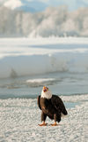 Bald Eagle(Haliaeetus leucocephalus) on snow Stock Photo