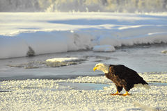 Bald Eagle(Haliaeetus leucocephalus) on snow Stock Images