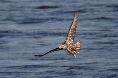 Bald Eagle (haliaeetus leucocephalus) Stock Images