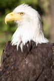 Bald Eagle, Haliaeetus leucocephalus, is a symbol USA Royalty Free Stock Photo