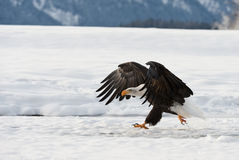 BALD EAGLE ( Haliaeetus leucocephalus ) walk on the snow Royalty Free Stock Image
