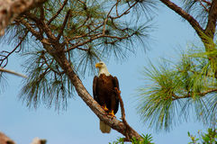 Bald Eagle -Halialeetus Leucocephalus royalty free stock photo