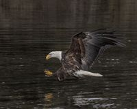 Bald Eagle with talons outstretched. Bald Eagle has his talons outstretched in preparation for grabbing the chunk of herring that he has spotted on the water royalty free stock photography