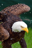 Bald eagle having a bath Stock Images