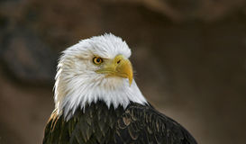 Bald eagle head. Bald eagle looking with sharp eye view royalty free stock images