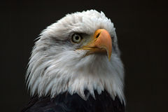 Bald Eagle Head. Photo of the head of a bald eagle -- isolated on dark background Royalty Free Stock Photography