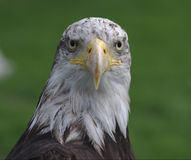Bald eagle head Royalty Free Stock Image