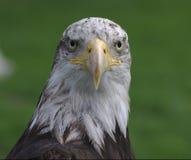 Bald eagle head Royalty Free Stock Image