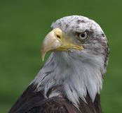 Bald eagle head Stock Images