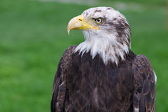 Bald eagle head Stock Photography