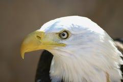 Bald Eagle head. Eagles: The Bald Eagle or American Eagle (Haliaeetus leucocephalus) portrait Royalty Free Stock Image