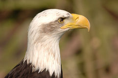Bald Eagle Head. Close-up portrait of bald eagle. Details of feathers and curved beak stand out against blurred natural background royalty free stock photography