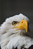 Bald Eagle Head close up. American Bald Eagle head shot - close up portrait with clear space stock images