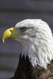 Bald eagle head close-up profile Royalty Free Stock Photo