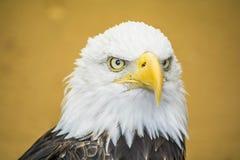 Bald Eagle Head. Close-up shot of a Bald Eagle`s head stock images