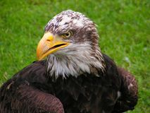 Bald Eagle, Head, Cub, Eagle Royalty Free Stock Image