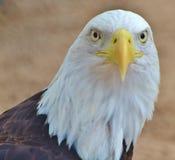 Bald Eagle Head/Face Royalty Free Stock Photography