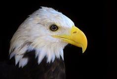 Bald Eagle Head/Face Royalty Free Stock Photos