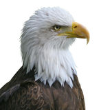 Bald Eagle head isolate Royalty Free Stock Photo