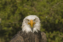 Bald eagle head shot. Head shot of a bald eagle, about four years old Royalty Free Stock Images