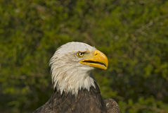 Bald eagle head shot. Young bald eagle almost all white head feathers Stock Image