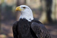 Bald Eagle Head Shot. American bald eagle front view and head shot Stock Images