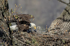 Bald Eagle with her baby Royalty Free Stock Photo