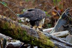 Bald eagle holds piece of salmon with its talons as it eats. It on a log jam on Goldstream River, Goldstream Provincial Park, Vancouver Island, British Columbia royalty free stock photo