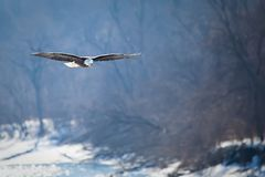 Bald eagle hunting. Bald eagle flying over water searching for fish with trees on the background Royalty Free Stock Photography