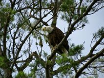 Bald Eagle Hunting Royalty Free Stock Photo