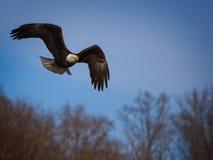 Bald Eagle Hunting Stock Photo