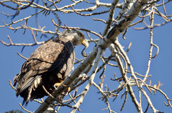 Bald Eagle Hunting While Perched in a Tree Royalty Free Stock Photo